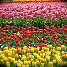 Dozens Of Tulips by Stephanie Exendine