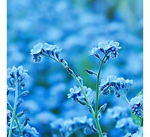 Blue Reminescence - Forget-me-not Photographic Print