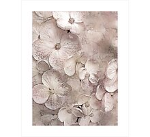 Hydrangea Blushing Bride Photographic Print