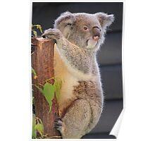 """Koala Pose - Nature Reserve Queensland"" Poster"