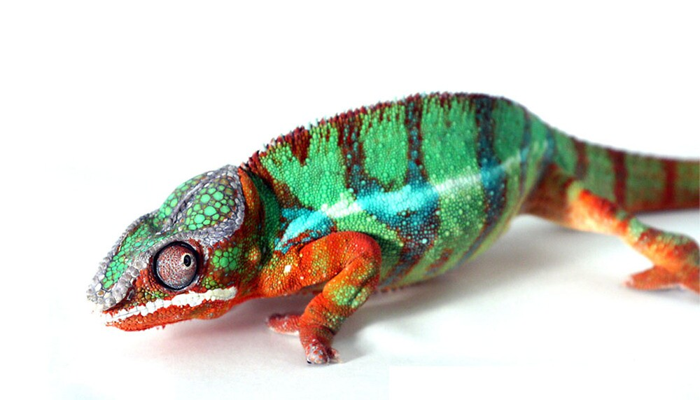 Chameleon  by PixelFarm