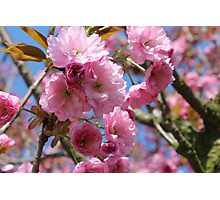 Japanese Cherry Tree Blossoms - Heralds of Spring Photographic Print