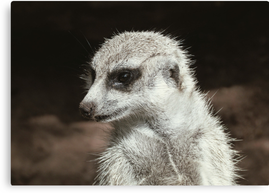sharp eyed   Meerkat by jainiemac