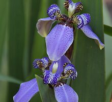 Purple Irises by Gail Falcon