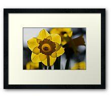 daffodil Framed Print