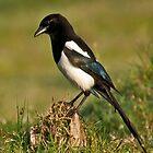 European Magpie (Pica pica) by Konstantinos Arvanitopoulos