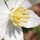 mayapple by SusieG