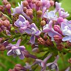 Lovely Lilacs by debbiedoda