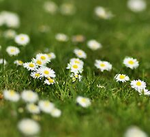 Shallow Daisies by Mat Robinson