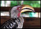 Hornbill says hallo! by Elizabeth Kendall