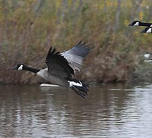 Canadian Geese in Flight by Alyce Taylor