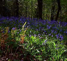 The Bluebell Woods, Cove,Devon by David-J
