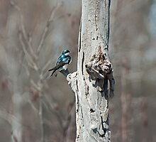 Tree Swallow by Mike Oxley