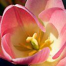 Pink tulip flower by moor2sea
