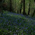 Bluebells Again by David-J