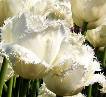 FRINGED WHITE 'HONEYMOON' TULIP by Johan  Nijenhuis