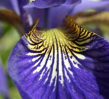 Purple Iris by Amanda Ziegelbauer