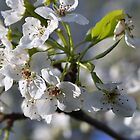 Apple Blossom by MaryLynn
