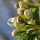Early Blossom by MaryLynn