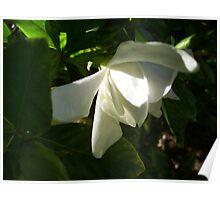 Soft Gardenia Poster