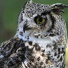 """Great Horned Owl - """"Gordon"""" by Alyce Taylor"""