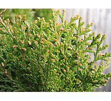 Arborvitae leaves Photographic Print