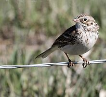 Song Sparrow - Melaspiza melodia by Barb Miller