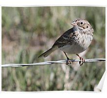 Song Sparrow - Melaspiza melodia Poster