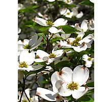 Dogwood In bloom Photographic Print