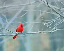 The Cardinals Are Back !! by Ned Elliott