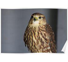 Merlin Falcon Poster
