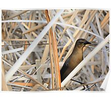 Grackle in Hiding Poster