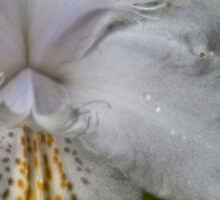 Hearts Of Flowers #31: angel orchid by Lenny La Rue, IPA