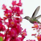 hummingbird on the wing 4 by Lenny La Rue, IPA