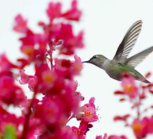 hummingbird on the wing 4 by Lenny La Rue, IPA