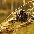 Nature's brooch - Araneus diadematus by Marina Herceg