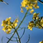 Mustard Flowers by Joanne Piechota