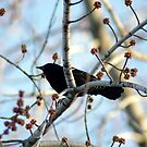 Red-Winged Blackbird by Hassan Khan