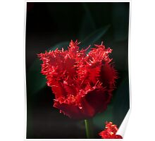 Fringed red tulip Poster