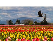 Bald Eagle crossing a Tulip Field Photographic Print