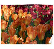 Orange and Red-Fringed Tulips Poster
