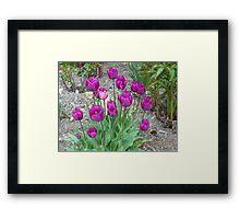 Purple Tulups Framed Print