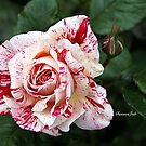 Peppermint Rose ~ Sweet and Spicy  by SummerJade
