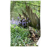 Bow Wood bluebells Poster