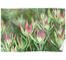 A striking display - Leucadendron Salignum Poster