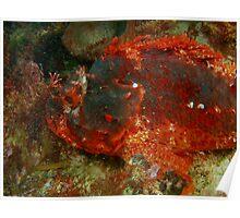 black devil 4 scorpionfish rottnest island reef Poster