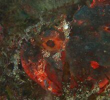 black devil 5 scorpionfish rottnest island reef by peterbeaton