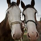 Moora Clydesdales by gary A. trounson