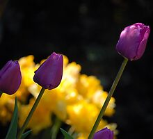 Tulips - Purple by vbk70