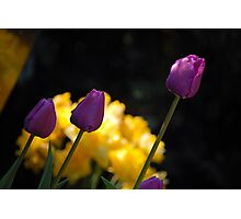 Tulips - Purple Photographic Print
